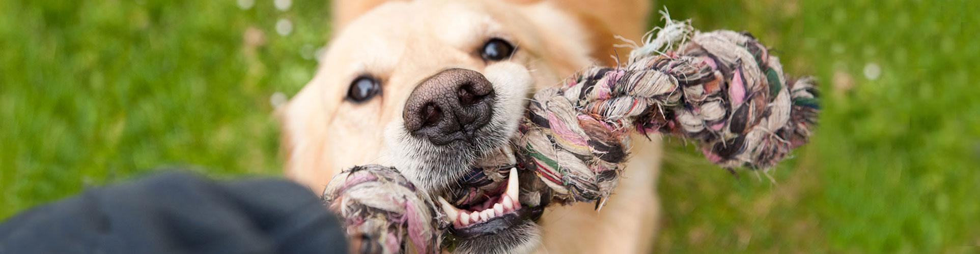 dog-tug-of-war