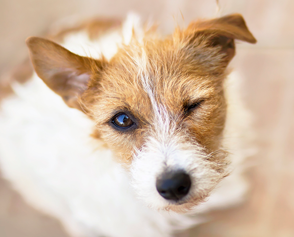 Pet Dermatology in Lewisville: Dog Winking