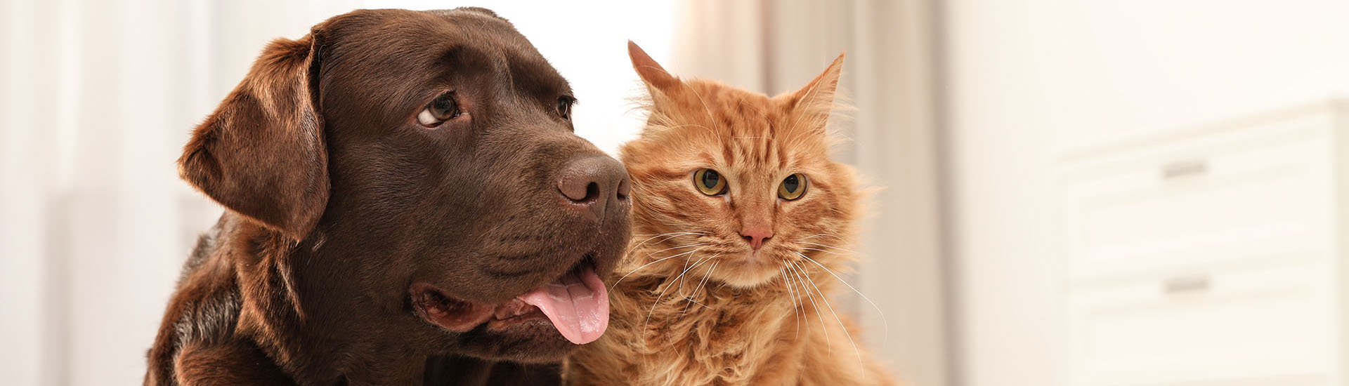 Brown lab and cat on rug