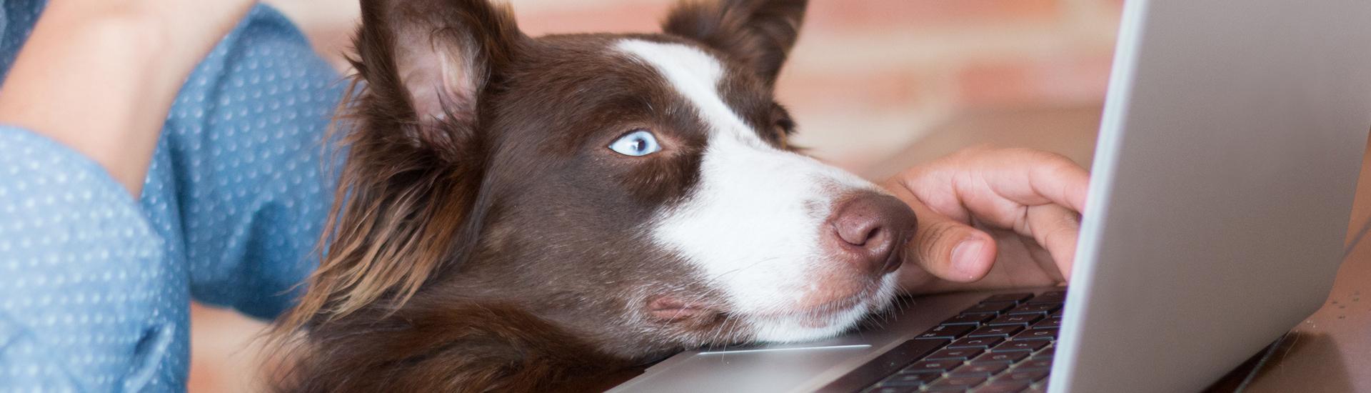 dog looking at computer screen