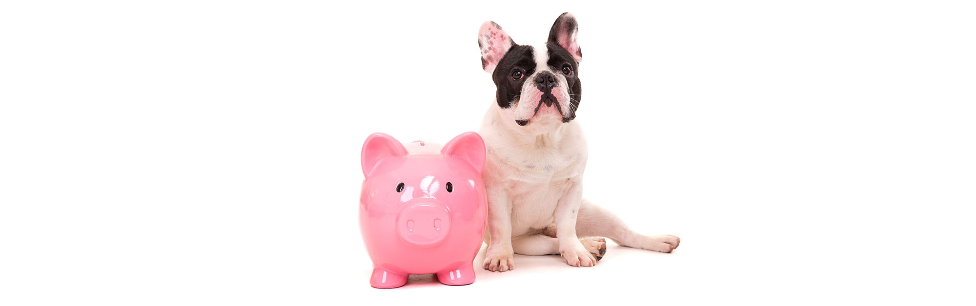 frenchie with pink piggy bank